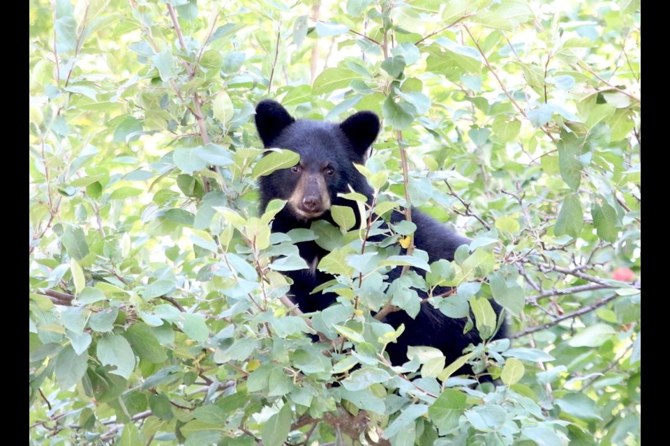 This bear was part of a family of four bears including three cubs that was climbing apple trees in a south-side Thunder Bay neighbourhood this week (Doug Diaczuk/TBNewswatch)