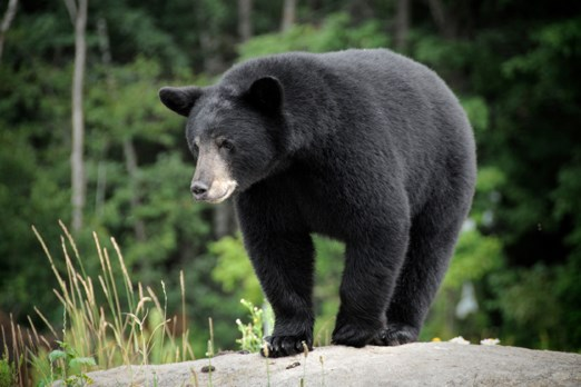 Bear WEB