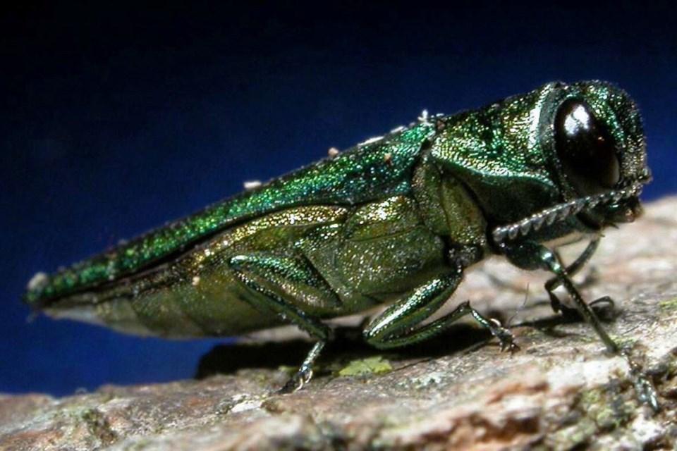 The emerald ash borer attacks only ash trees. (emeraldashborer.info)