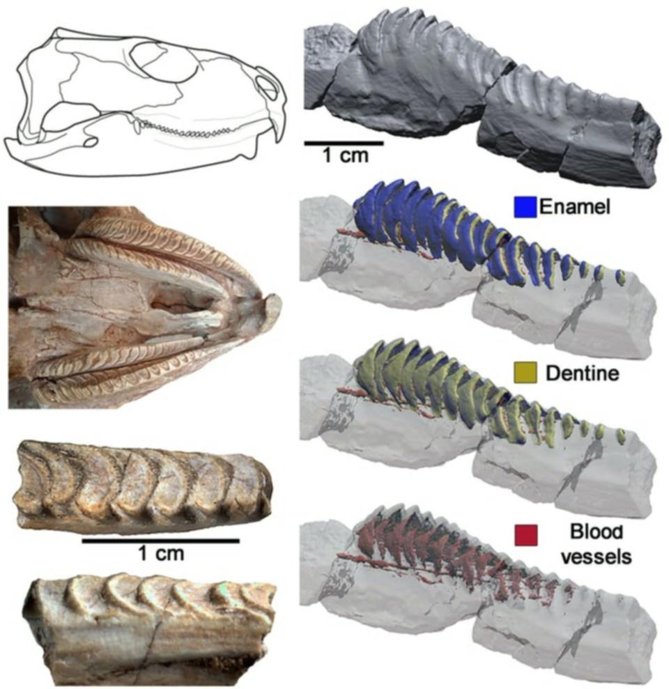 prisophenodon-teeth-may-21-2021