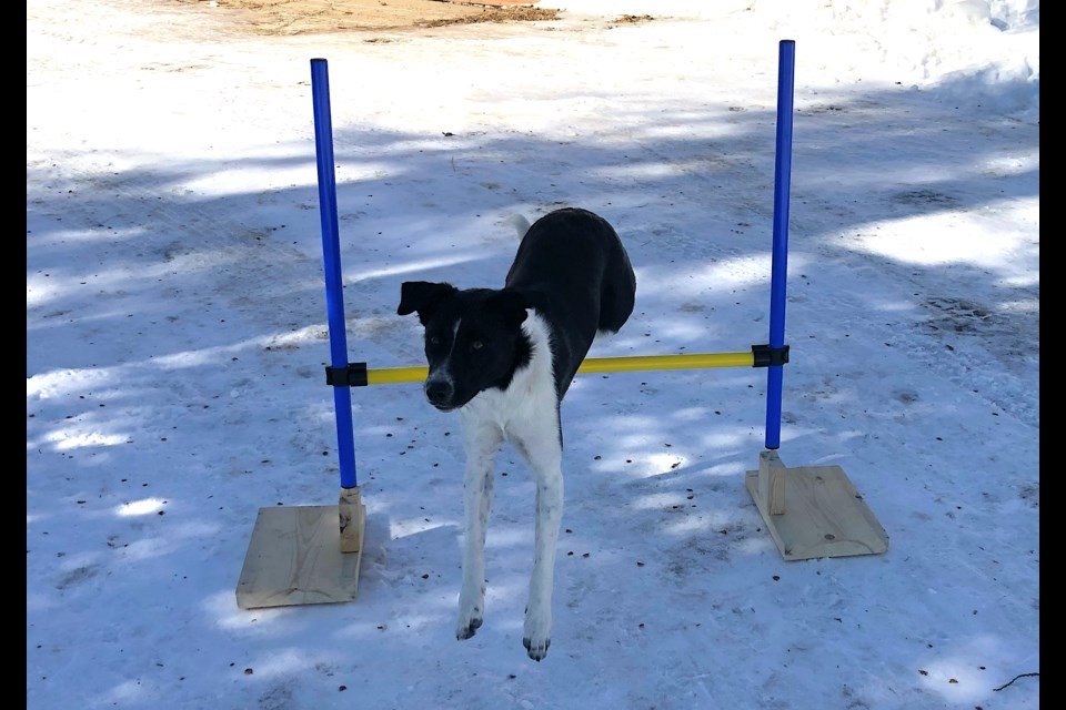 Border collie Pip successfully clears a jump. Dog owners will be able to train their dogs for agility games beginning this spring at Standard Stables. Wayne Snider for TimminsToday