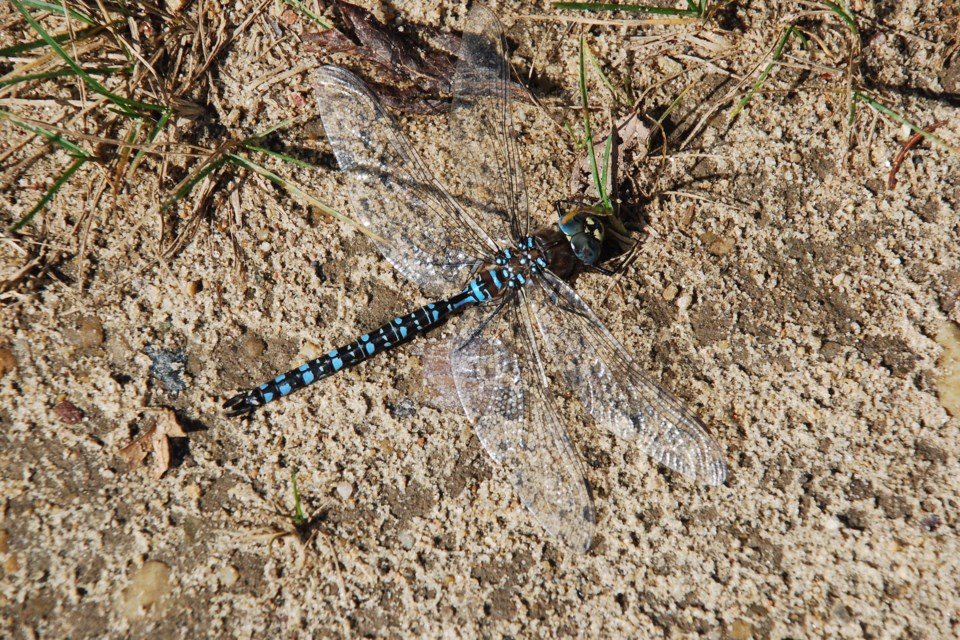 Dragonfly resting on the warm summer sand at Long Island Lake east of Jarvie Les Dunford
