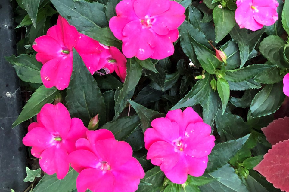 Pink Flowers_PI
