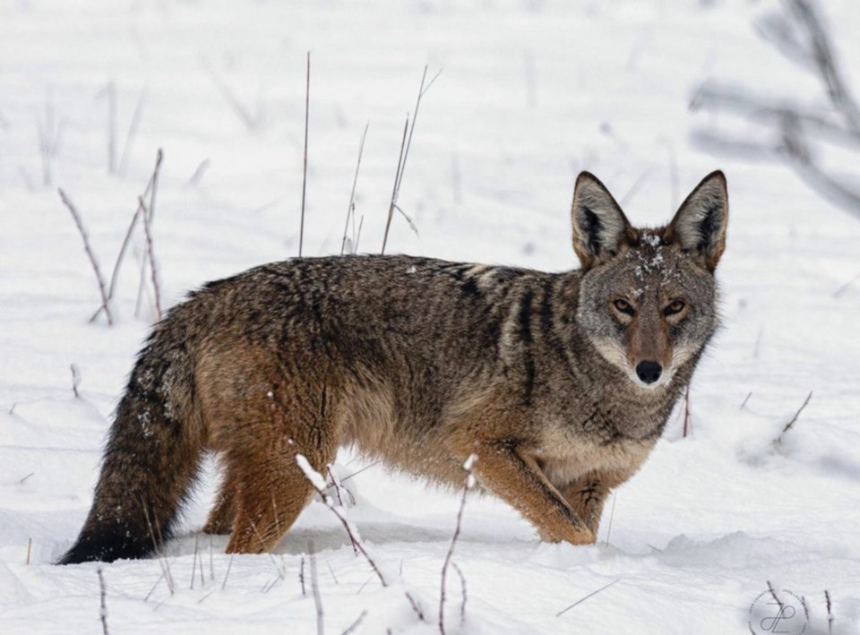 WES coyote