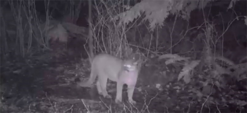 1631939-image-of-a-cougar-captured-from-surveillance-video