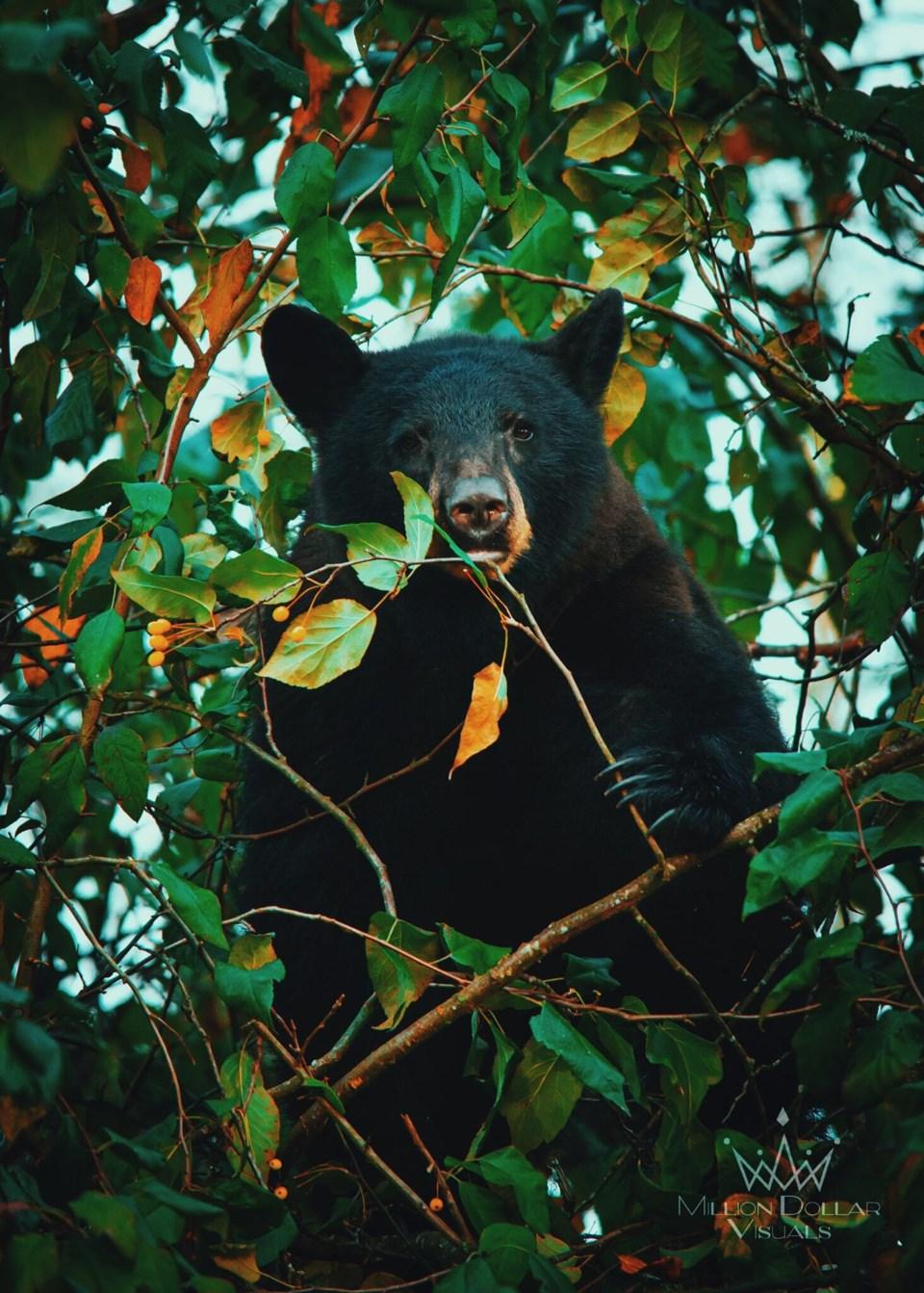 Bear eating berries Britt Sandberg photo (2)