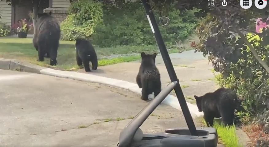 Bear family in Port Coquitlam