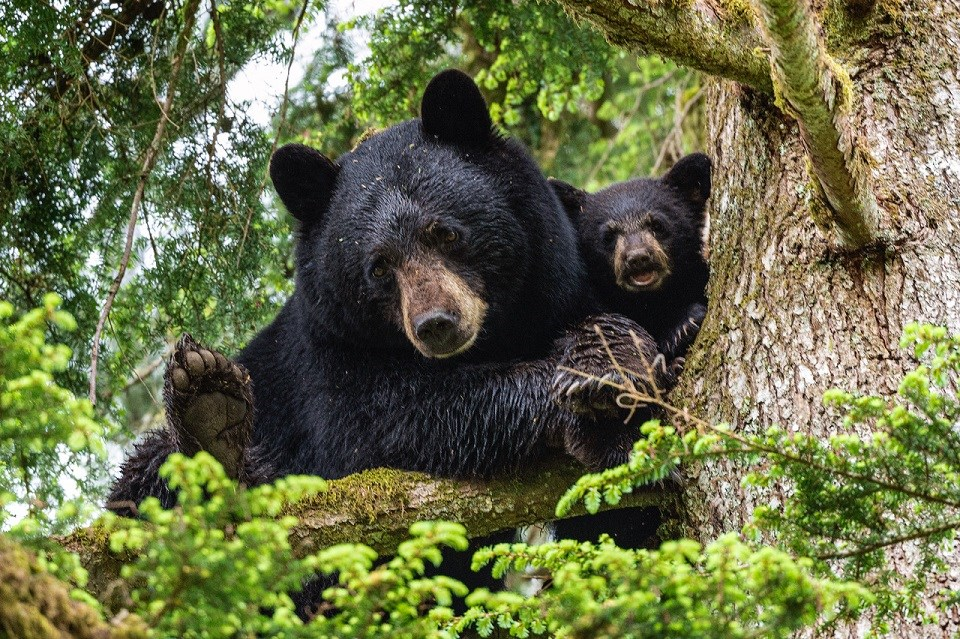 Bear family in tree in Port Coquitlam - May 26, 2021 JON LAVOIE