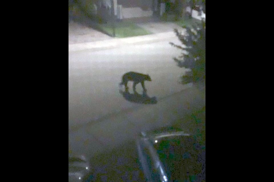 This is a photo of one of the bears that entered a car and garage on Westwood Plateau in Coquitlam on June 13, 2021.