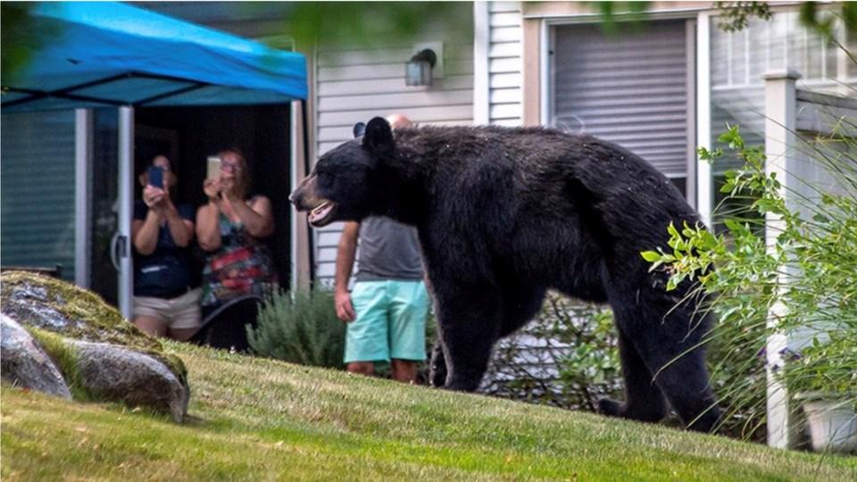 bear in Port Moody