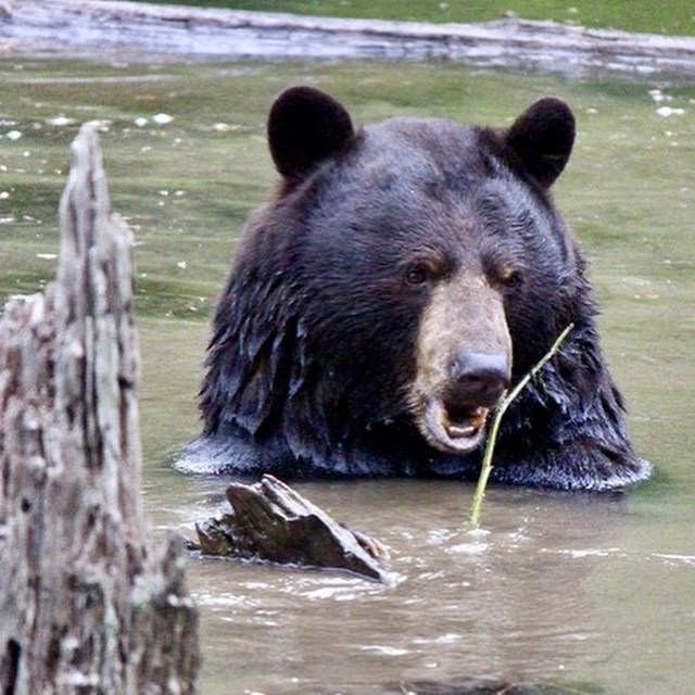 Coquitlam River Bear