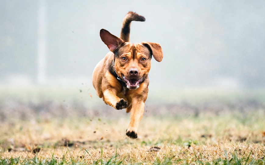 Dog running Getty