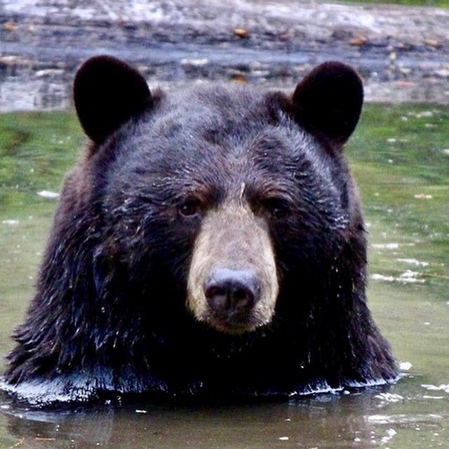Drama teacher Charles Harris found this big black bear frolicking in a Port Coquitlam pond just in time for Earth Day