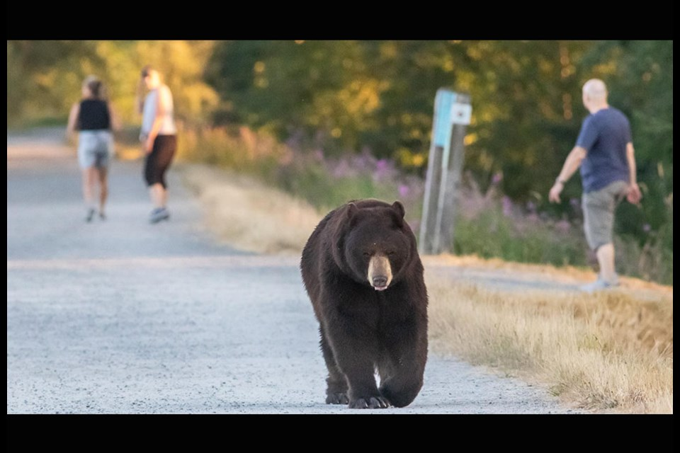 A bear was seen taking a stroll near the Pitt River Dike of the Traboulay PoCo Trail on July 14, 2021.