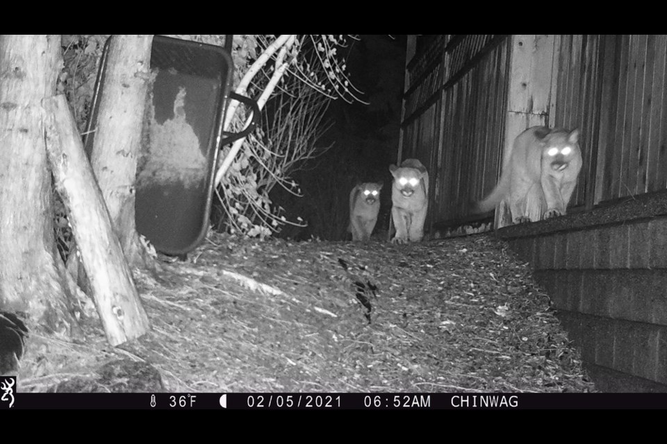 A mother cougar and her three kittens are captured on a Port Moody man's trailcam outside his home early in the morning Feb. 5.