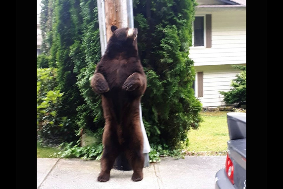 A big brown bear was seen posing for photos outside a Coquitlam home on June 13, 2021.