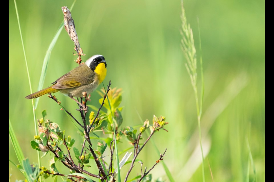 Common yellowthroat warbler.