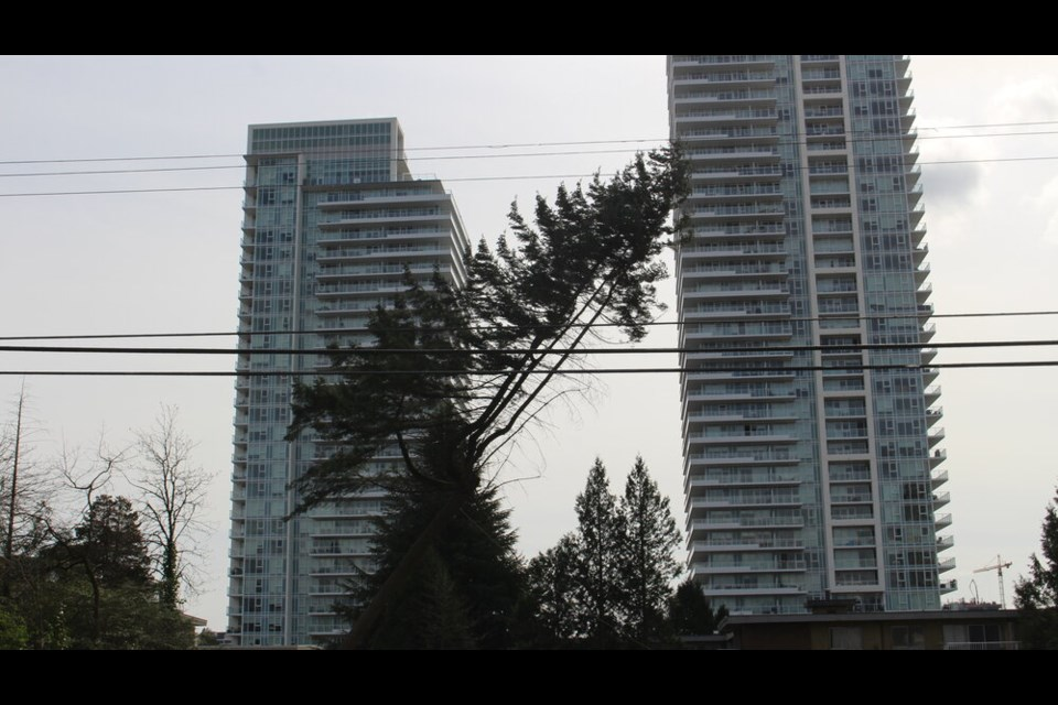 Burquitlam's Christine Coles claims a Flicker nest was in this tree cut down Tuesday, April 6, which if true, would violate B.C.'s Wildlife Act; however, the city of Coquitlam said a recent bird nest survey found nothing.