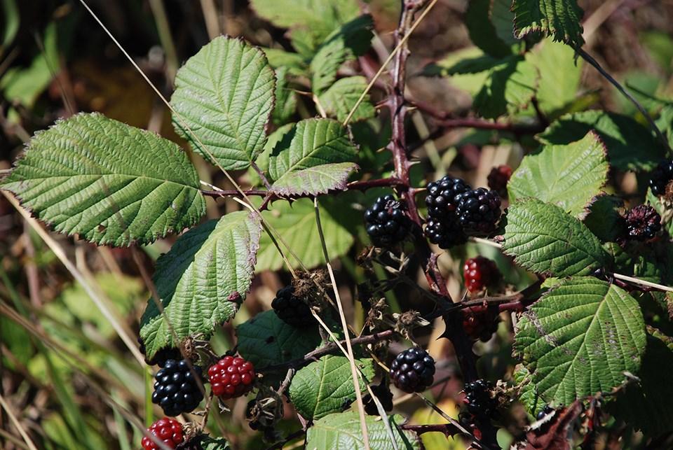 HimalayanBlackberriesFlickrAvisBoutell