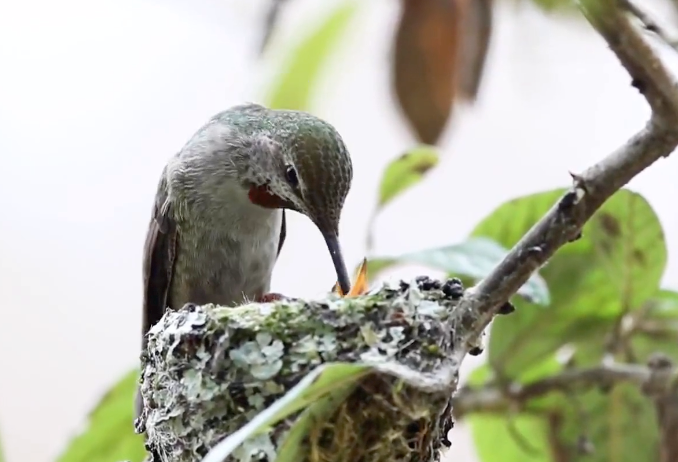 A humming bird feeds its young — from a video by the Wildlife Rescue Association. | Screenshot/Wildlife Rescue Association