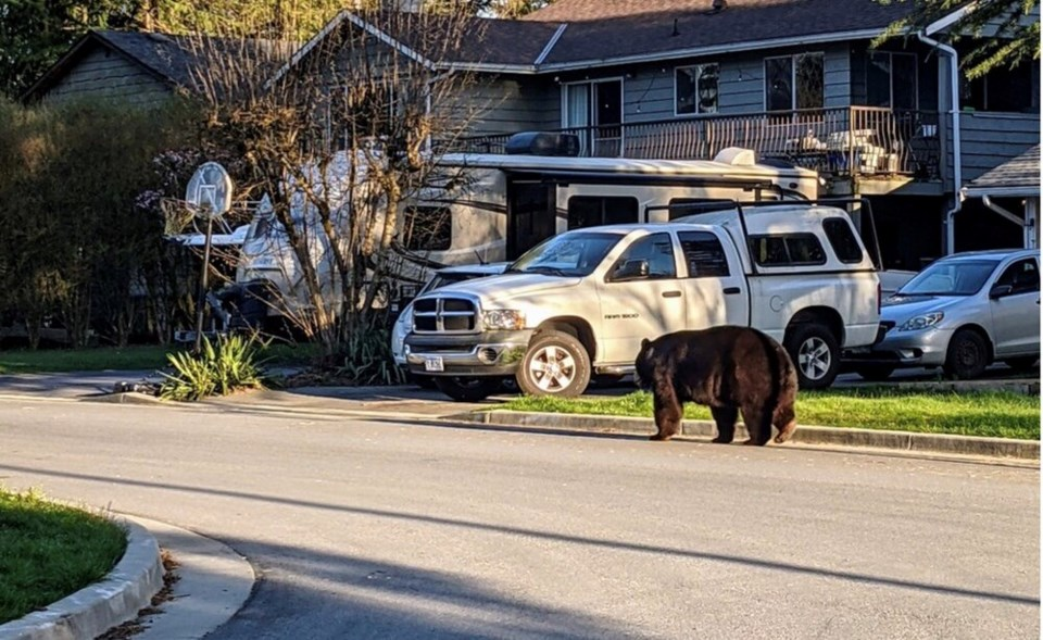 Port Coquitlam bear Stacey Gokool photo