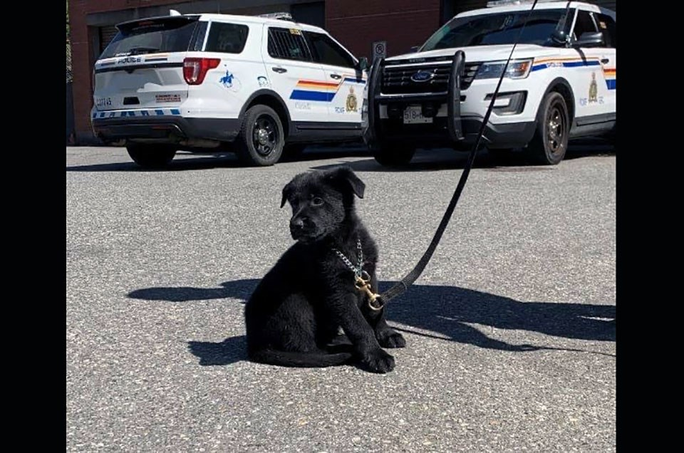 'Paige' is the newest member of Coquitlam RCMP's police dog services team. As of July 20, 2021, the purebred German shepherd the youngest in the detachment at eight weeks old.