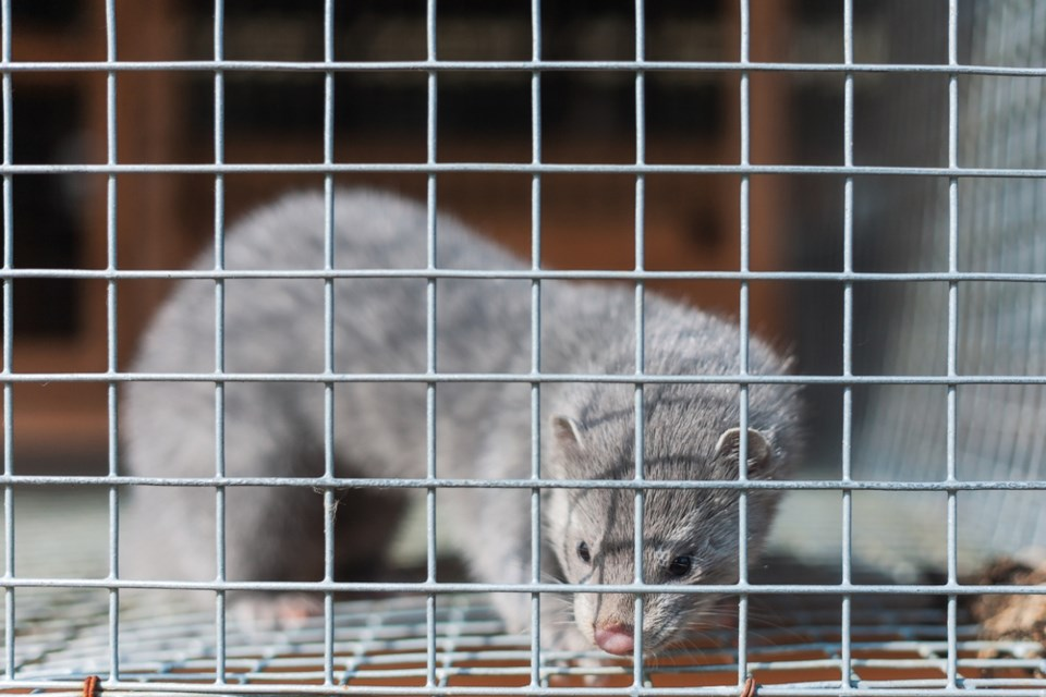 A silver mink in a cage. - Photograph via Getty Images