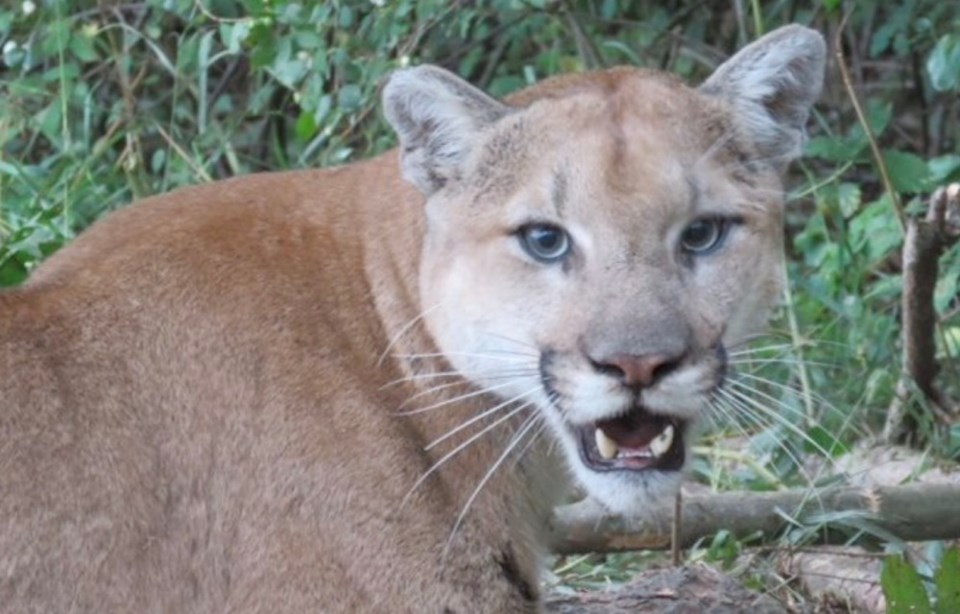 bc cougar encounter twice saanich