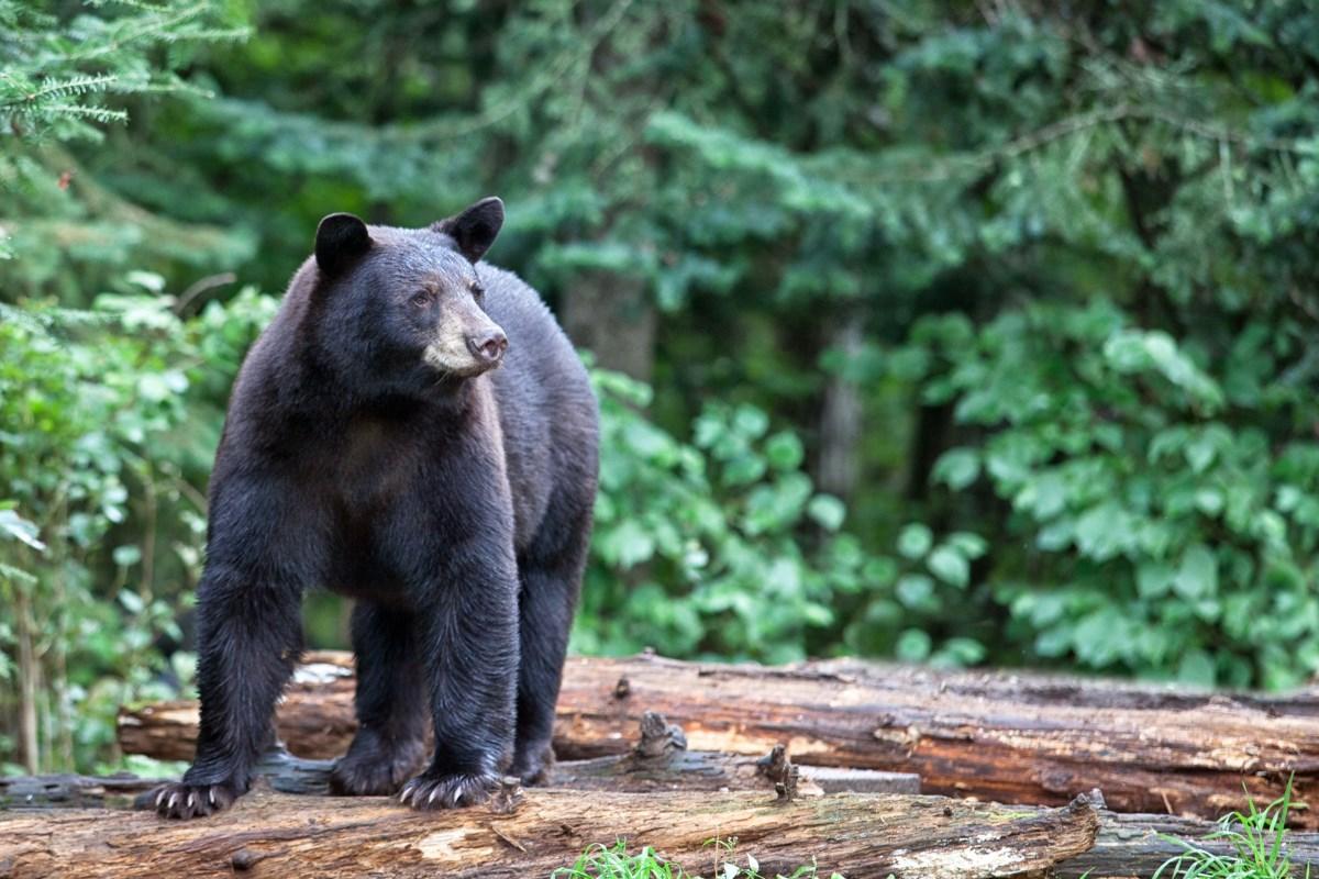 Black bear sightings in Westlock are nothing unusual