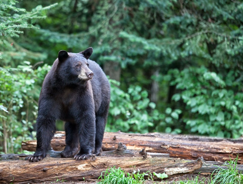 black bear GettyImages-177804726
