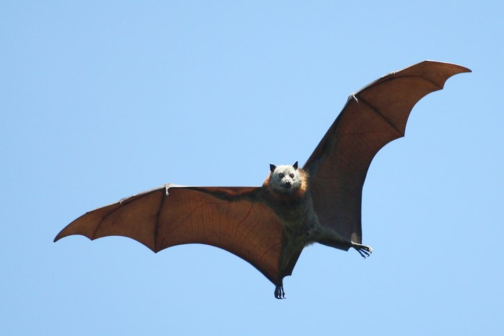 Bat-creditEwenCharltonGettyImages