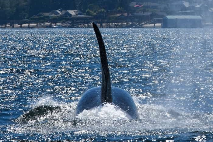 a-male-transient-orca-hunts-in-the-waters-off-port-moody-trites-says-the-return-of-orcas-to-the-bur