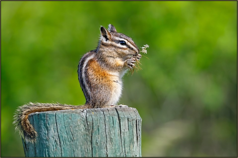bc spca 2020 wildlife photography contest chipmunk BH1_2020_224835_Thomas Haslinger_PineChipmunk