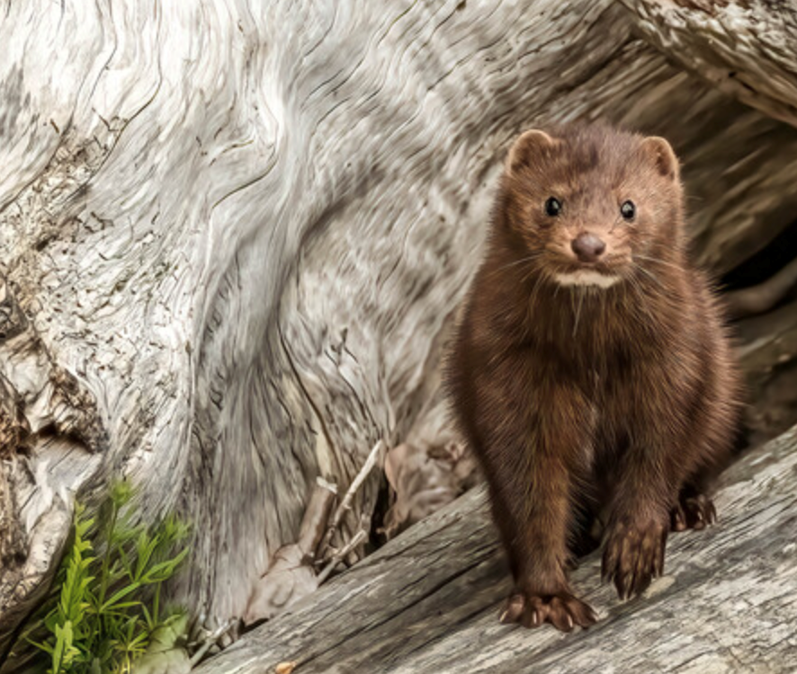 bc spca wildlife photography contest 2020 mink  Screen Shot 2020-09-17 at 9.59.27 PM