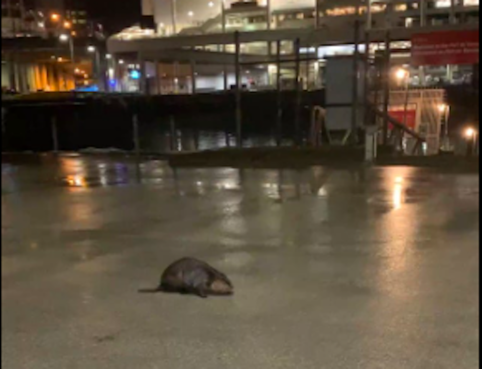 beaver-downtown-vancouver-waddle.jpg