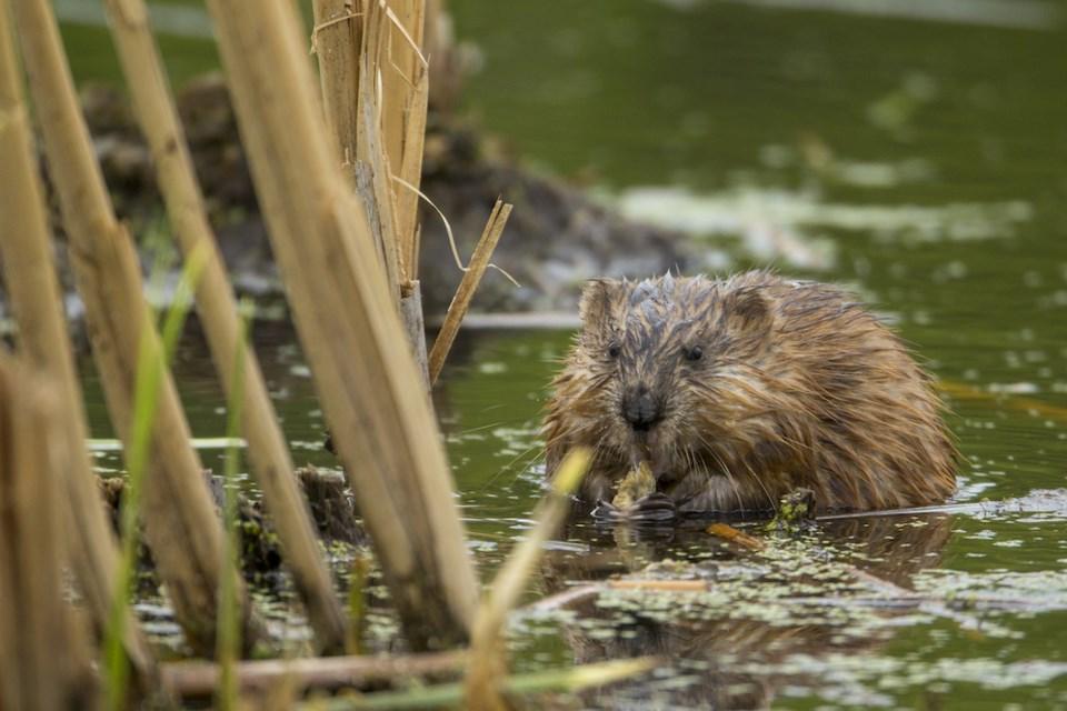 beaver-muskrat-stanley-park-metro-vancouver-mammals