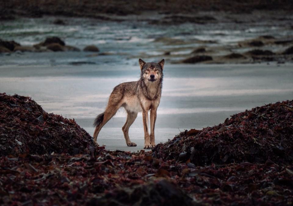 Coastal_Wolf_Alpha_Male_Image1_by_Maxwel_Hohn