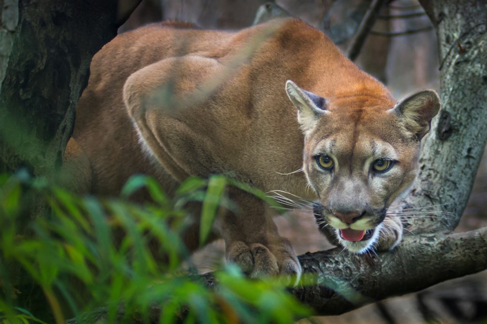 cougar sighting coquitlam GettyImages-469355228
