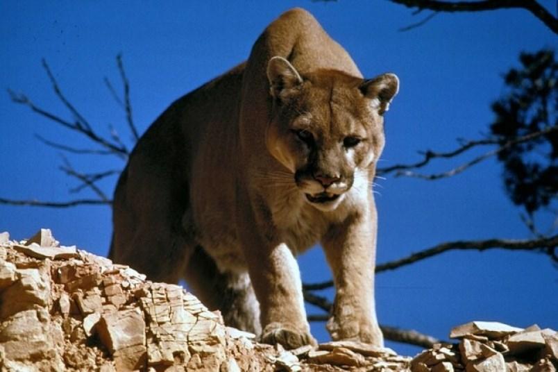 Boy cougar Cougar
