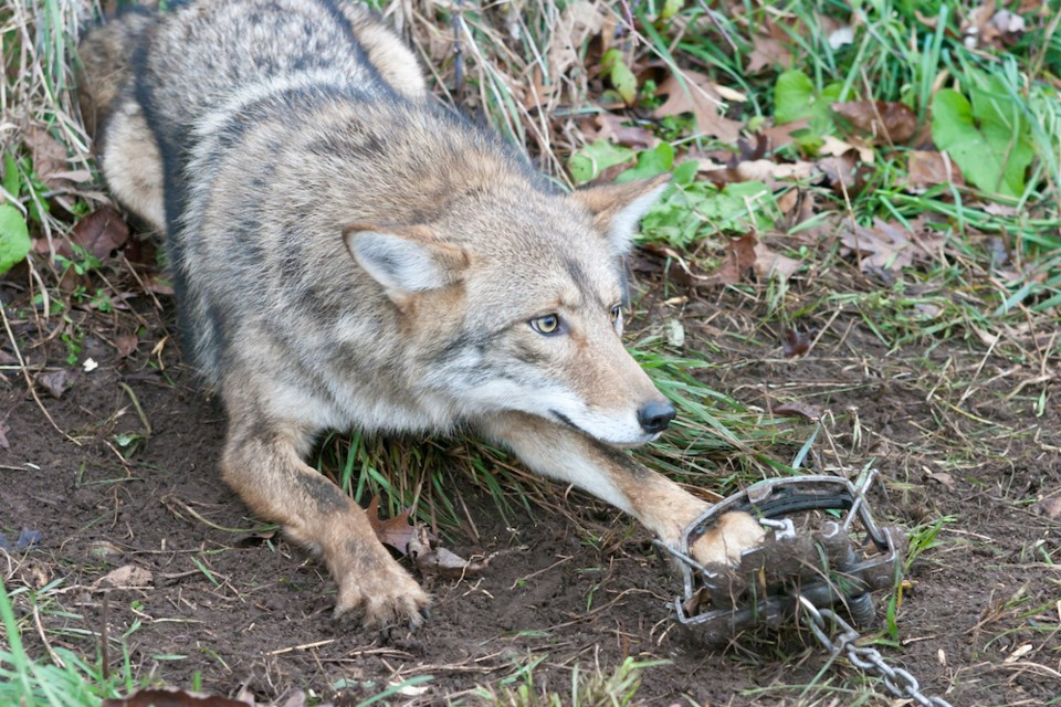 coyote-leghold-trap-stanley-park-captured-euthanized-july-2021