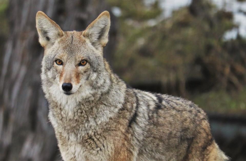 coyote1-crop