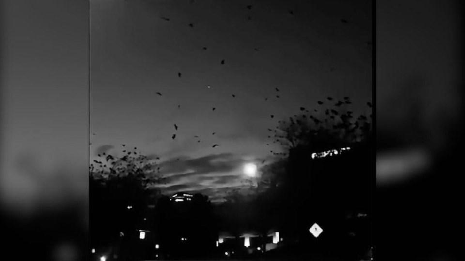 crows-flying-murder-metro-vancouver-burnaby-video