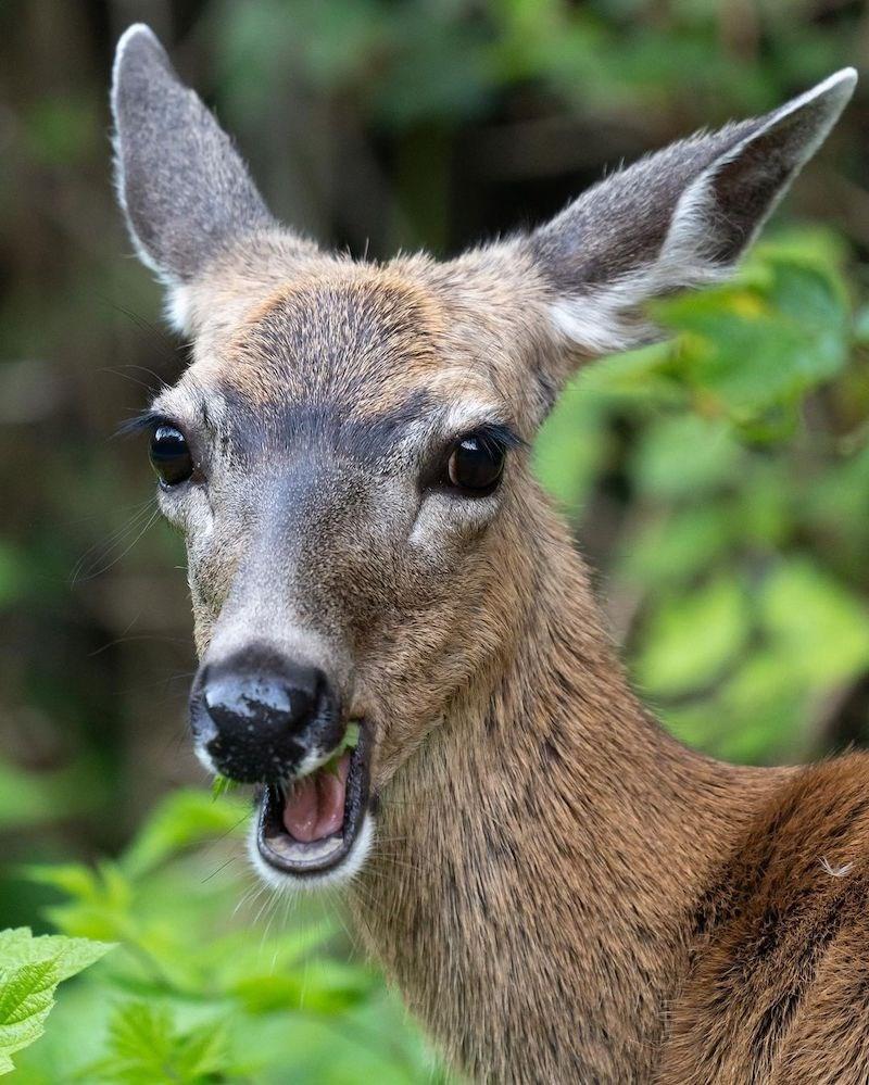 deer-vancouver