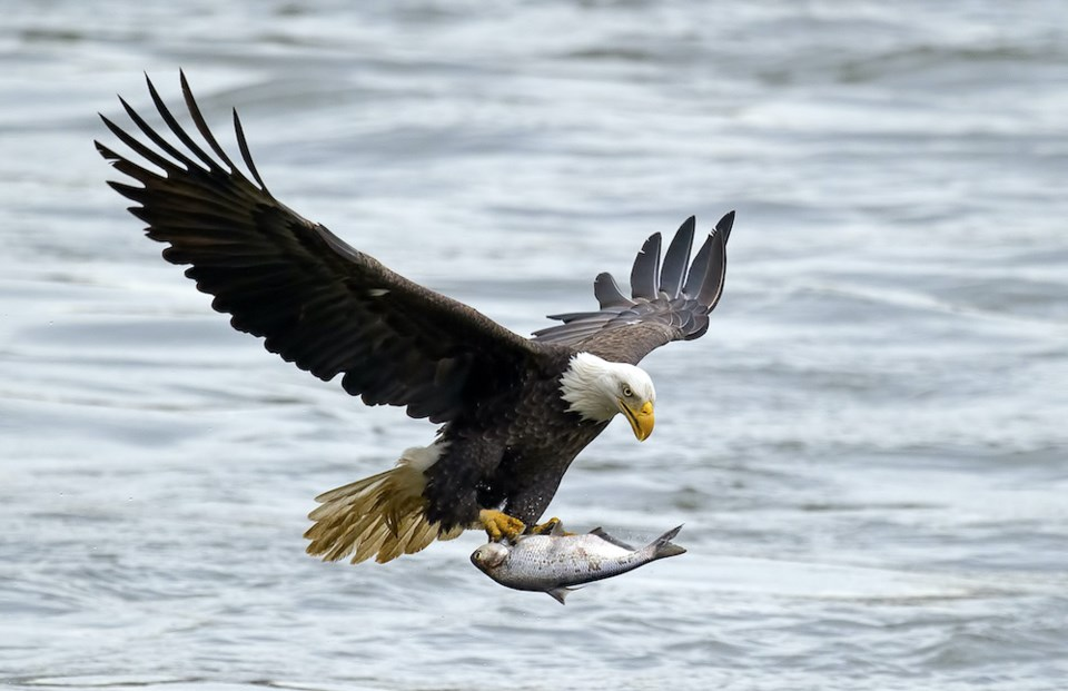 eagle-with-salmon-bc-gathering