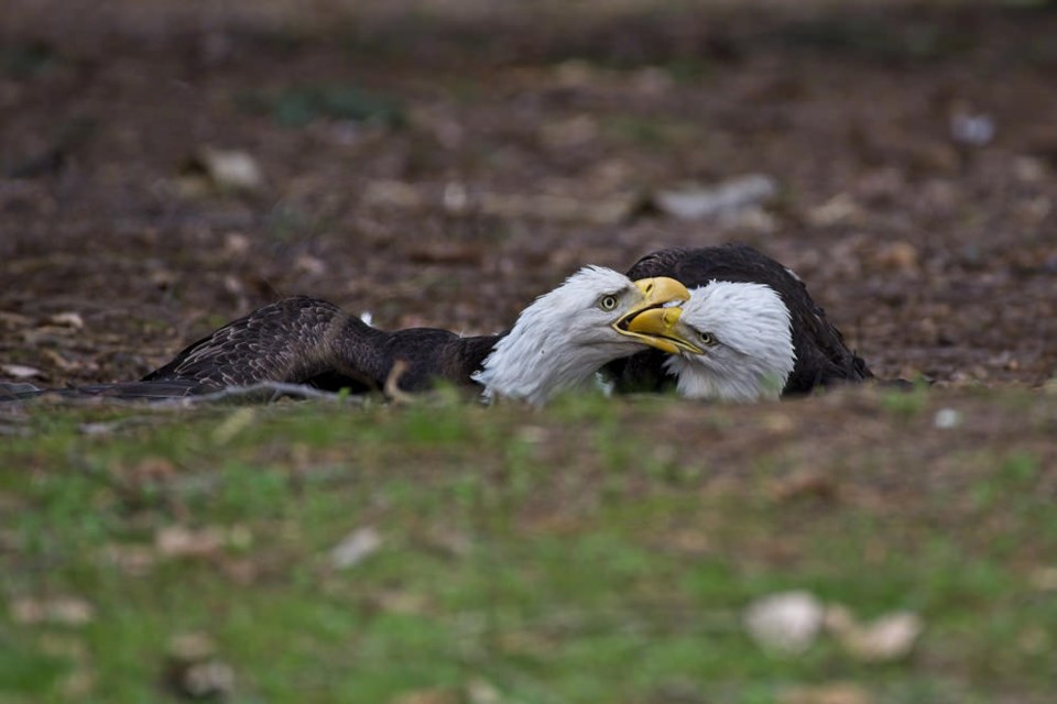 A pair of eagles battling on the ground Jericho Beach Park.