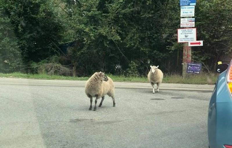 escaped-sheep-port-coquitlam-rowen-brand
