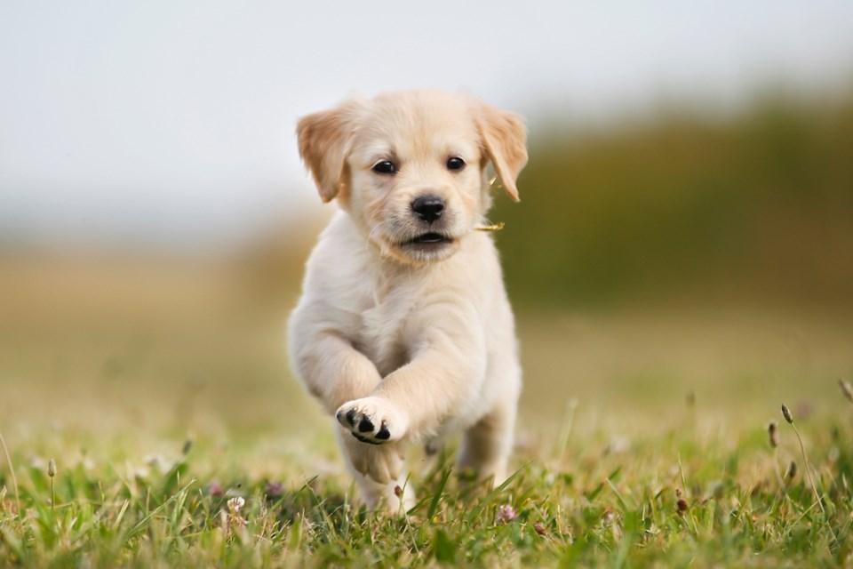 golden-retreiver-puppy-running
