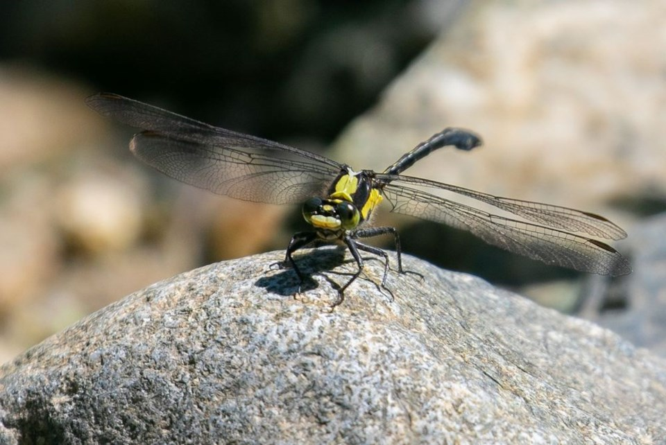 John Reynolds - Grappletail Dragonfly red list- first sighting in 40 years - Davies Lake PP