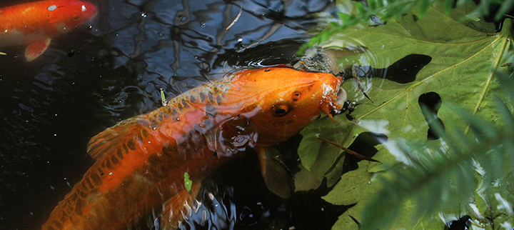 Vancouver S Oldest Koi Fish Just Found A New Home Vancouver Is Awesome