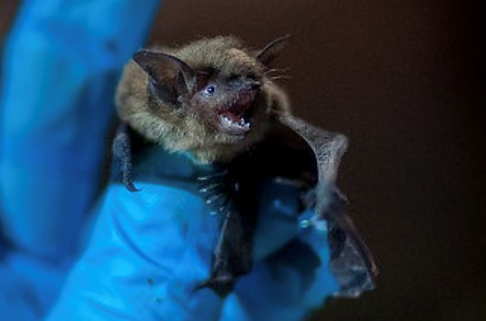 Little Brown Myotis Bat Week in B.C. uncovers tequila connection